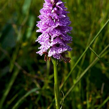 Spotted Orchid, Kilclooney, Donegal by VeryIreland