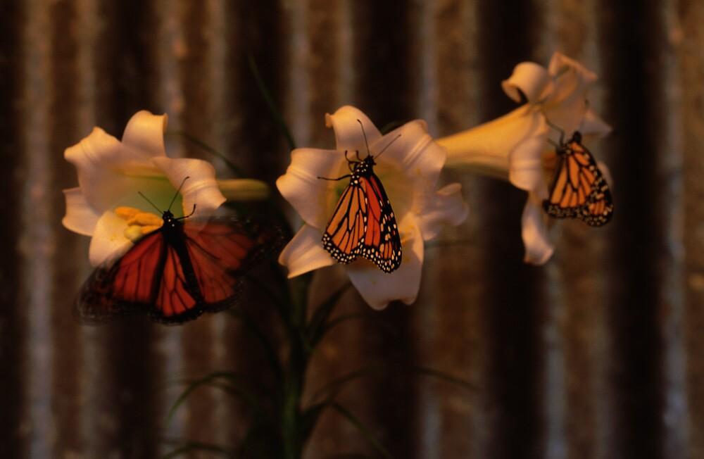 Monarchs Three by John Brumfield