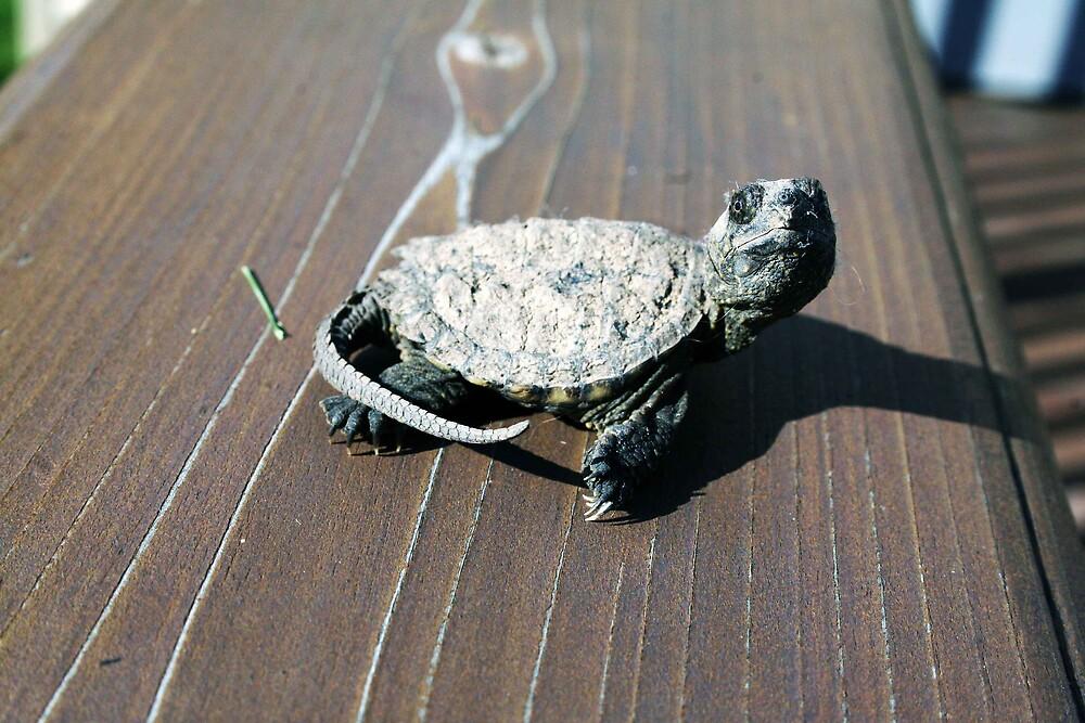turtle by Kris Z