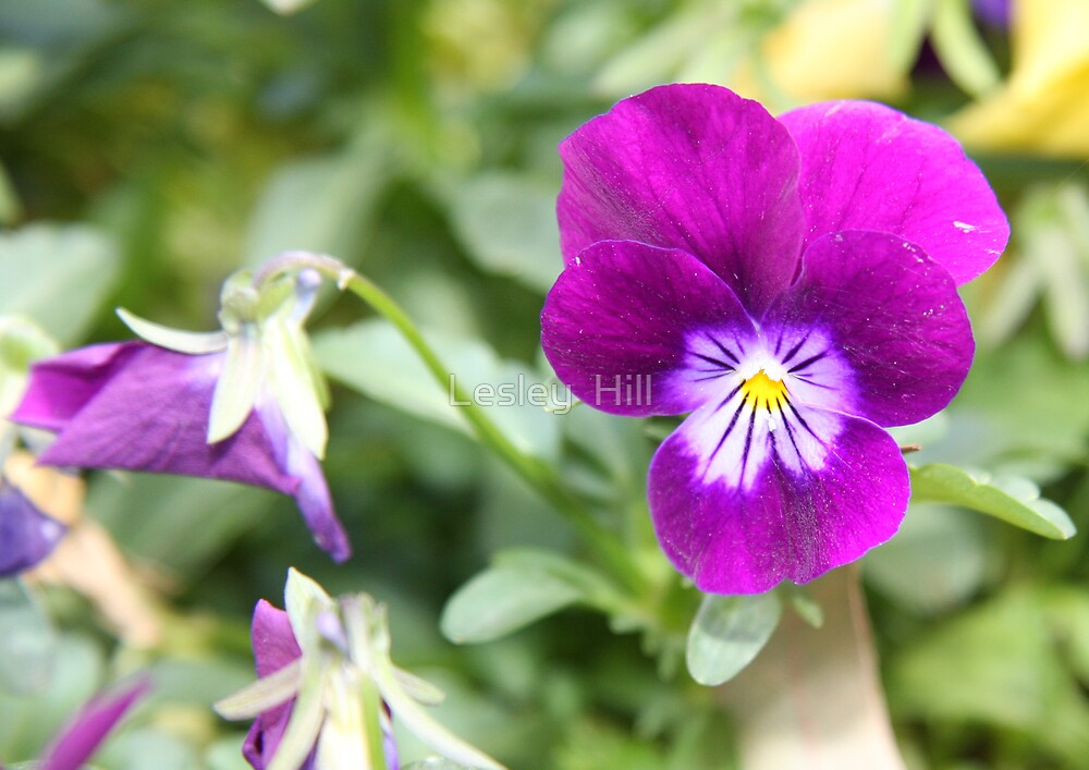 Purple Pansy!  by Lesley  Hill