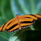Banded Orange Butterfly by Laurie Minor