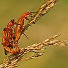 Soldier Beetles by Robert Abraham
