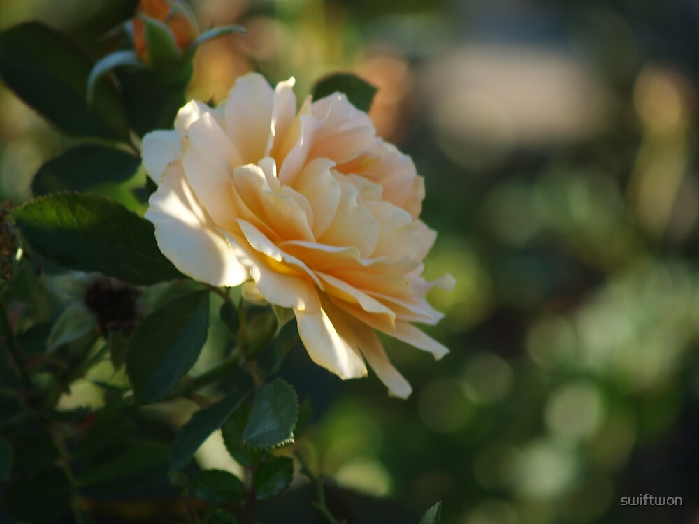 Texas Rose by swiftwon