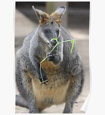 Black Footed Rock Wallaby Poster
