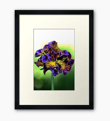 Shades of Frilly Pansy Framed Print