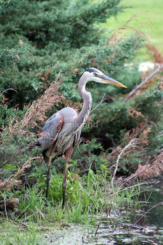 BLUE HERON by mlynnd