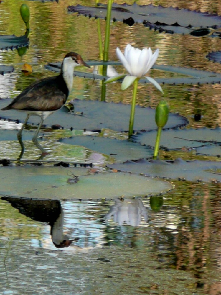 jacana  by Pearlie