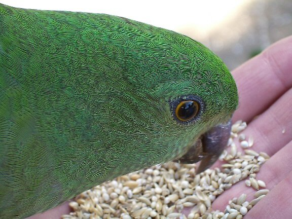 King Parrot Lamington National Park by Pearlie