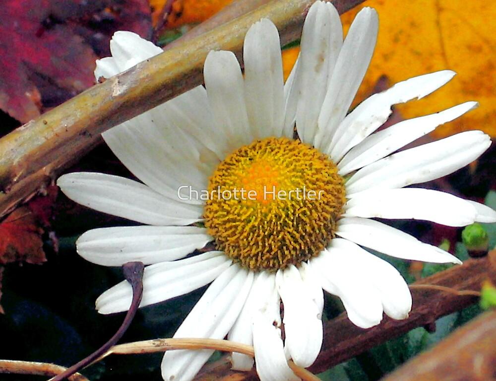 Autumn Daisy by Charlotte Hertler