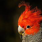 Gang-gang Cockatoo (male) by theleastone