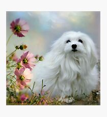 Snowdrop the Maltese - A Soft Summer  Breeze Photographic Print
