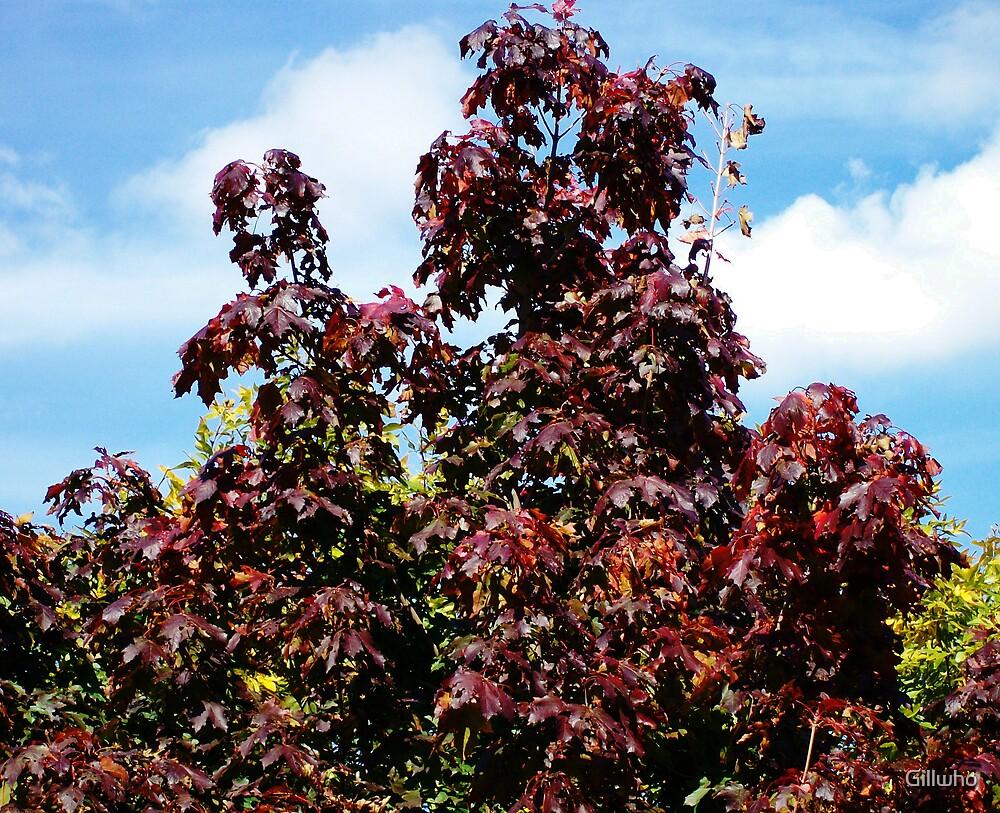Red Maple Splender by Gillwho