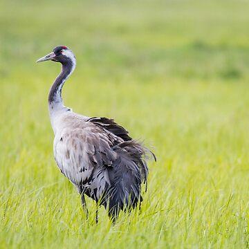 Common Crane by domcia