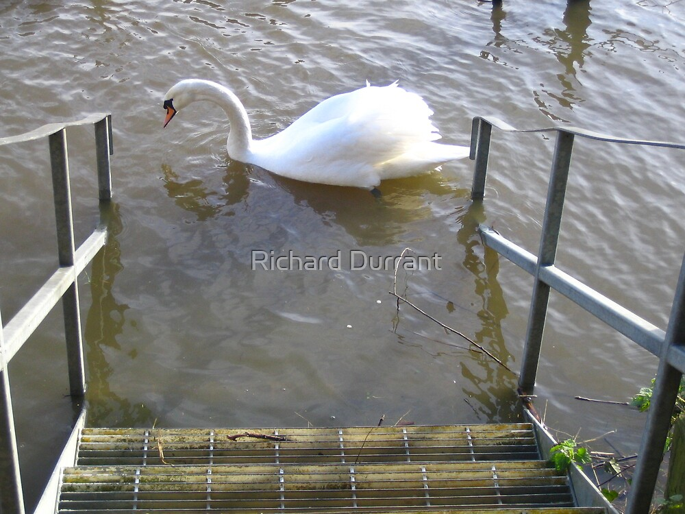 Swan At The Steps by Richard Durrant