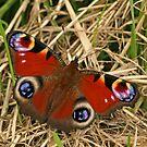 Pecock Butterfly by Robert Abraham