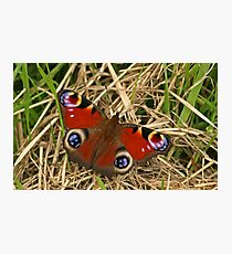 Pecock Butterfly Photographic Print