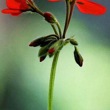Geranium - Crystal Palace Gem by rural-guy