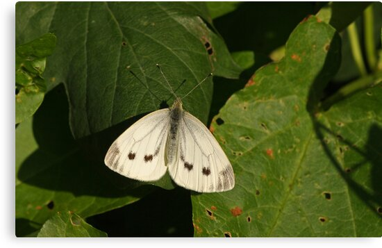 Greenveined White Butterfly by Robert Abraham