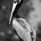 Mono Pelican by Jonicool