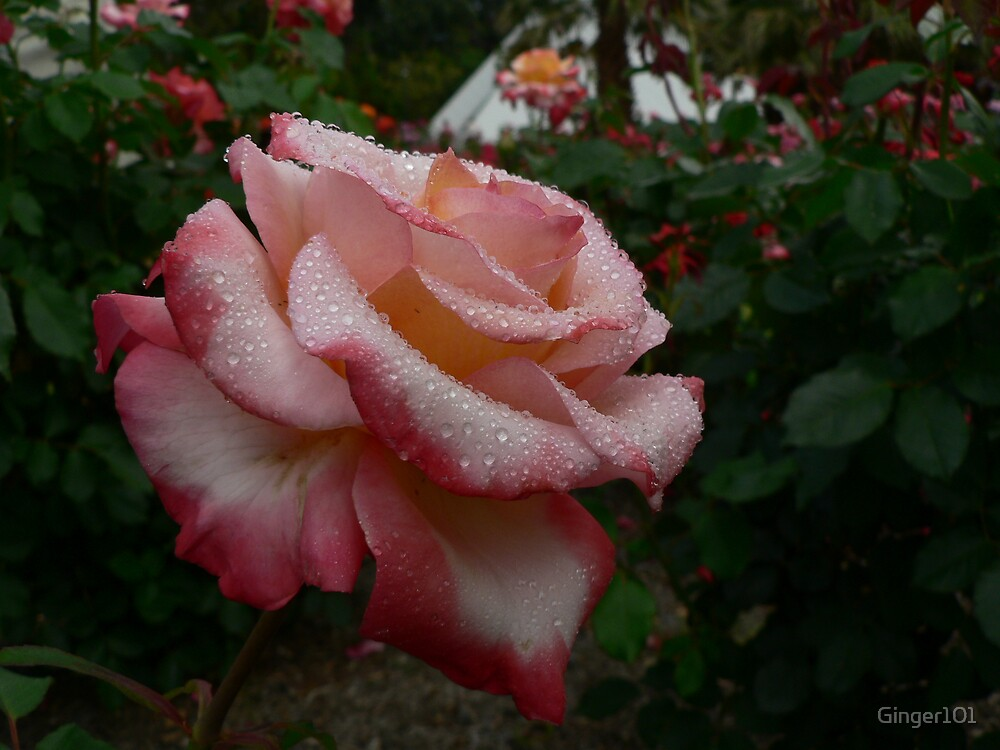 sugared rose by Ginger101
