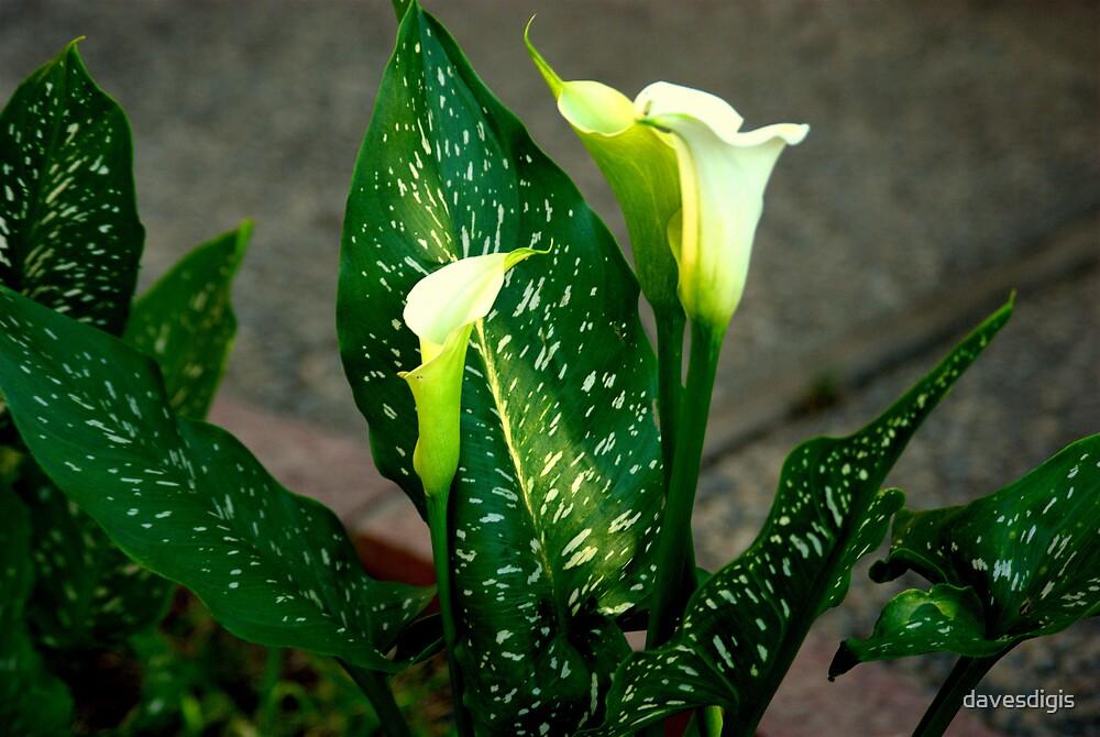 The Splendor of a Lilie by davesdigis