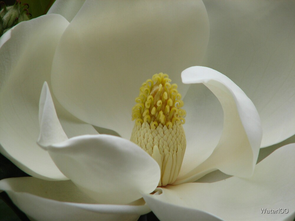 White Magnolia by Waterl00
