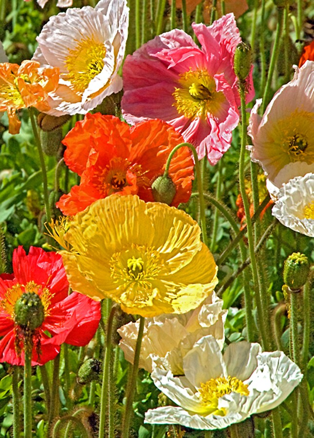 Lovely poppies by satwant