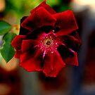 Rote Rose von Evita