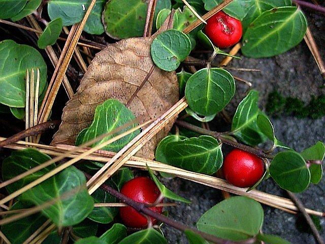 Partridge Berries by Linda Marlowe