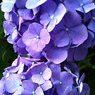 Blue Hydrangea by Betty Mackey