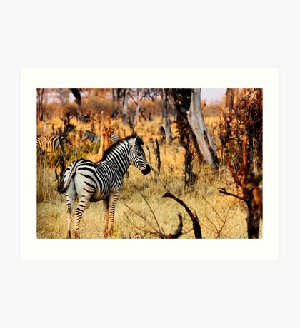 Zebras at sunset Art Print