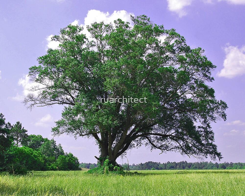 Lone Oak Tree by ruarchitect