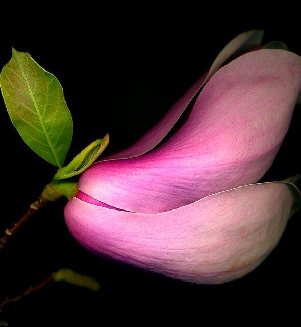 Japanese - Saucer Magnolia by Roger Maynard