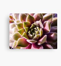 Pink and Green Macro Succulent 2 Canvas Print