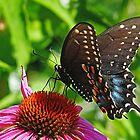 Spicebush Swallowtail by Evelyn Laeschke