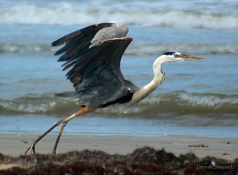 GREAT BLUE HERON by Dennis Stewart