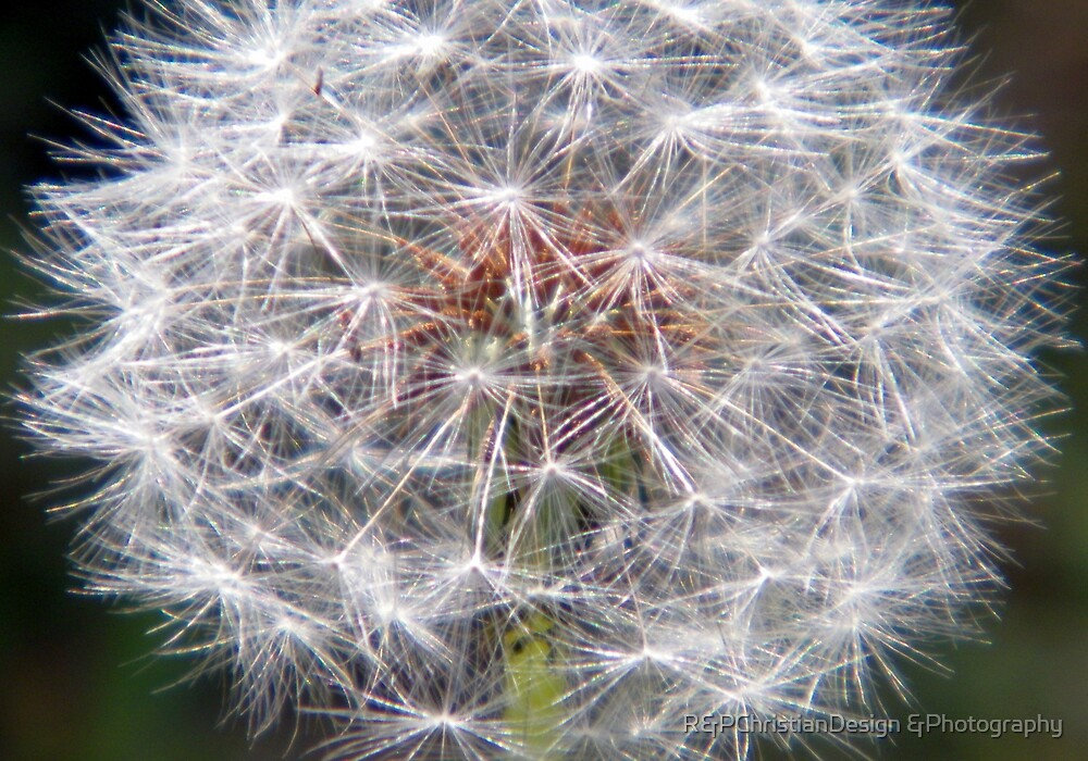 Another Dandilion by R&PChristianDesign &Photography
