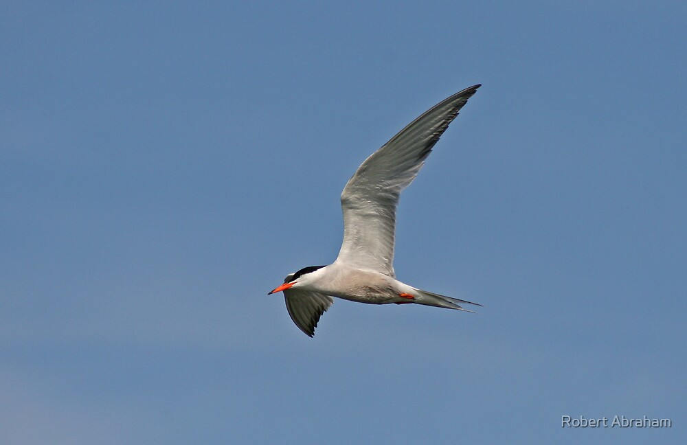 Common Tern by Robert Abraham