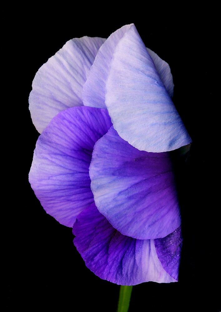 Petunia-1 by Roger Maynard