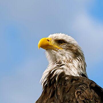 Bald Eagle by Vac1