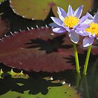 Water Lilies Casting Shadows by Carole-Anne
