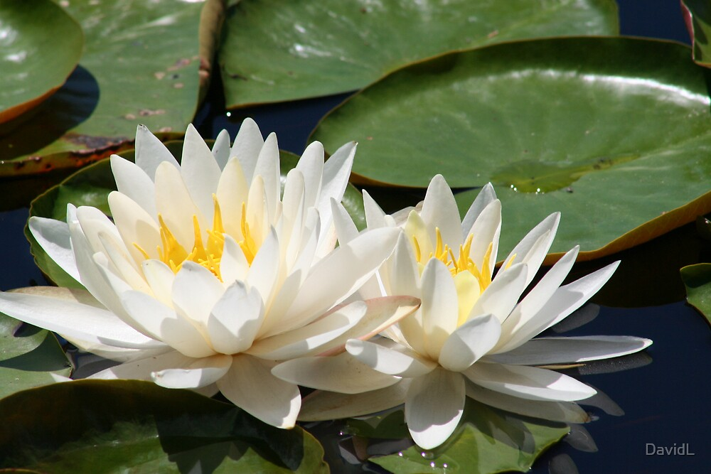 Water Lily by DavidL