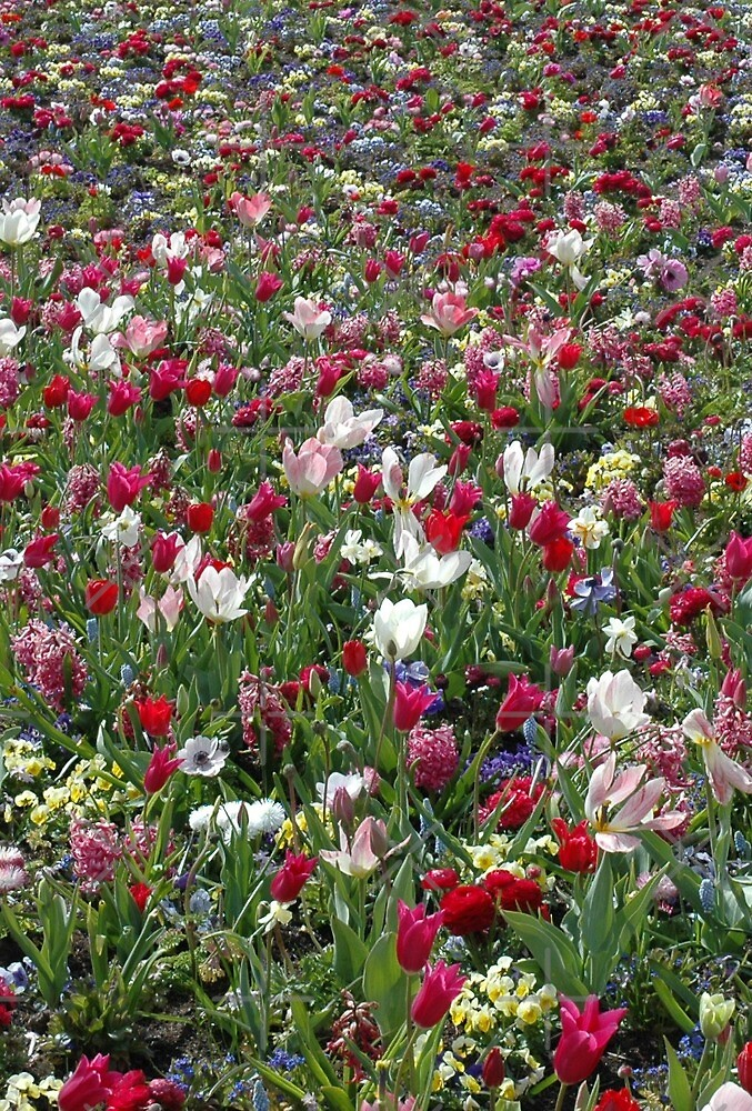 A carpet of colourful spring flowers by SiobhanFraser