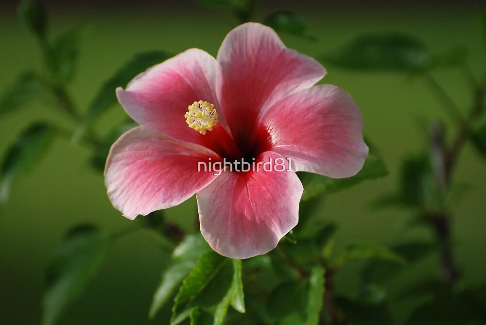 Pink Star Hibiscus by nightbird81