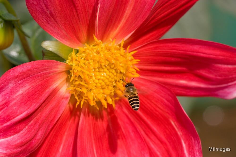 Mid_Flight Bee On Dahlia by MiImages