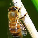 Honey Bee by Virginia N. Fred