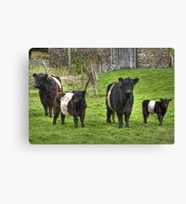Belted Galloways.. Canvas Print