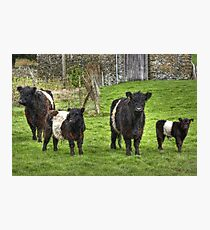 Belted Galloways.. Photographic Print