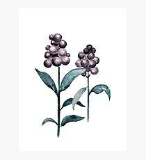 Watercolor Privet Fruit Berries Photographic Print