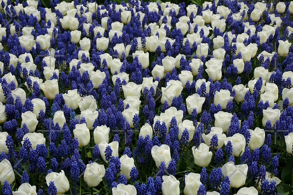 Blue and White flowers by SiobhanFraser